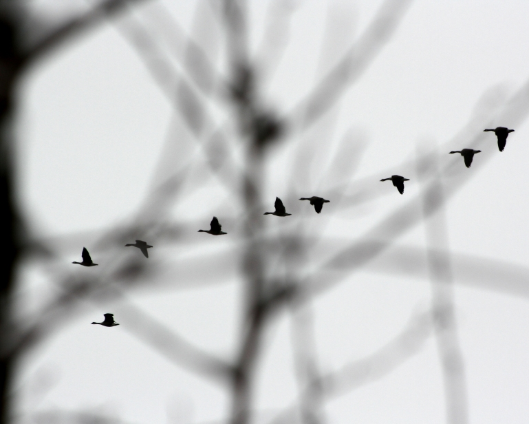 Wings_LandingGeese-1